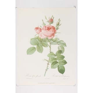 Decorative Roses Fine Art Print by P J Redoute