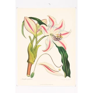 Amaryllis Spectabilis Poster Print by Henry Andrews