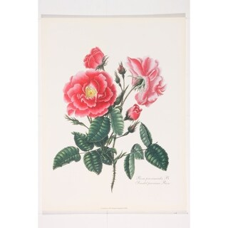 Botanical Scarlet Province Rose premium Art Print of Flowers