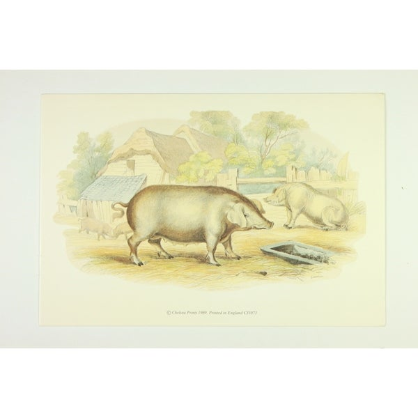 The Pigs premium Art Print of Animals by Edward Donovan