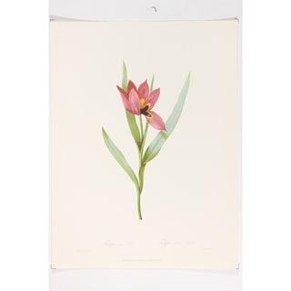 Tulipa Oculus Fine Art Print by P J Redoute