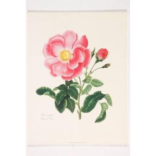 Botanical Rosa Gallica premium Art Print of Flowers