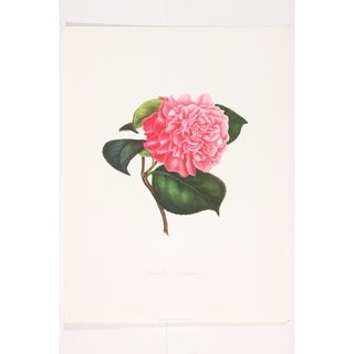 Camellia Triumphans Wall Art Print by J J Jung