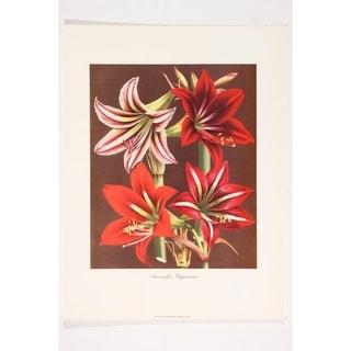 Amaryllis Hippeastra IV Fine Art Print