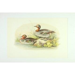 Ducks premium Art Print of Animals by Edward Donovan