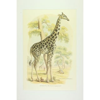 Cameleopard of North Africa premium Art Print of Animals by Edward Donovan