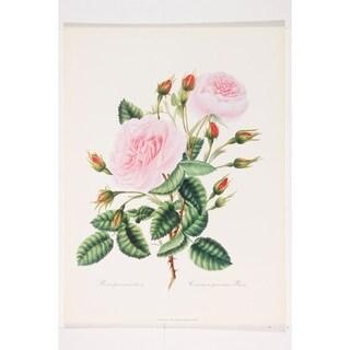 Botanical Common province Rose premium Art Print of Flowers