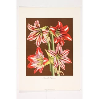 Amaryllis Hippeastra III premium Art Print of Flowers