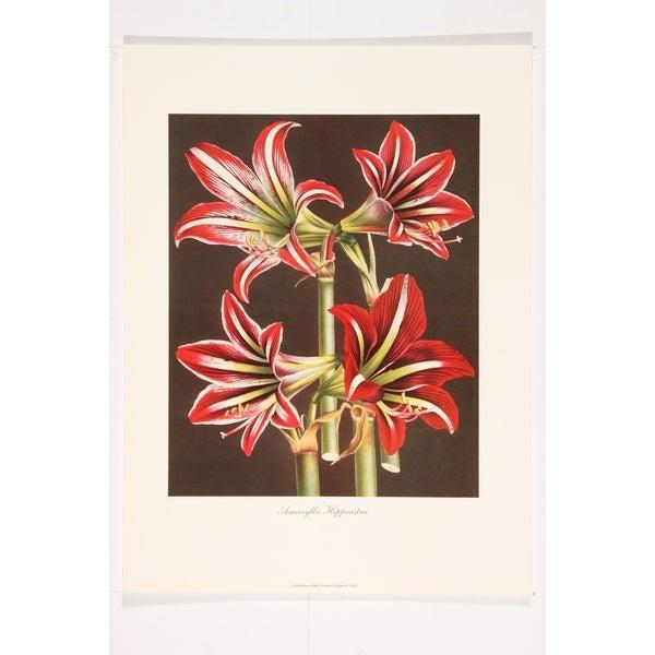 Amaryllis Hippeastra I Premium Art Print