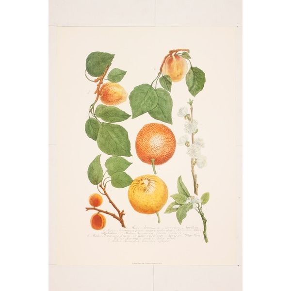 Citrus Fruit II Wall Art Print by John Weinmann