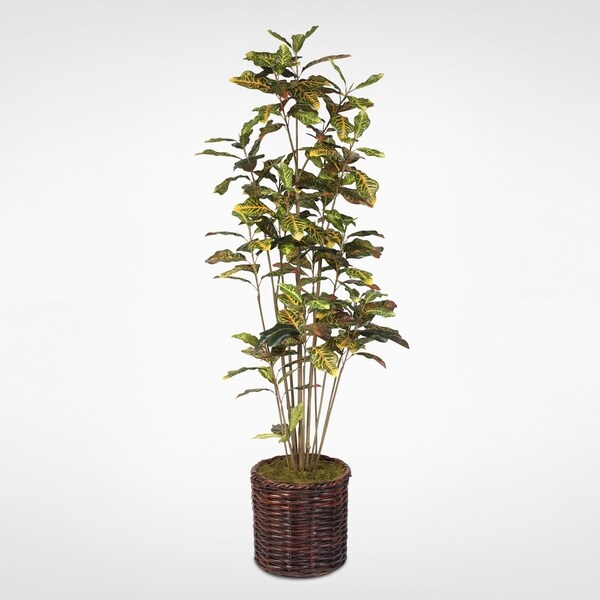 Shop 7ft Red Amp Orange With Multi Green Croton Tree In A