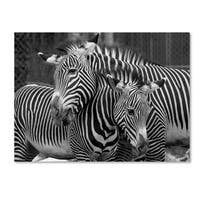 Mike Jones Photo 'Zebras' Canvas Art