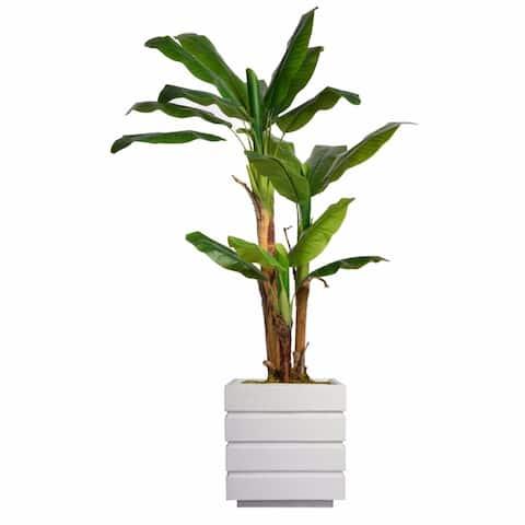 "66"" Tall Banana Tree with Burlap Kit and Fiberstone planter"