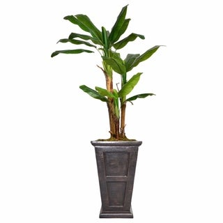 "78.8"" Tall Banana Tree,  Burlap Kit and Fiberstone planter"
