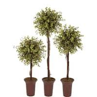 Eucalyptus Topiary Tree