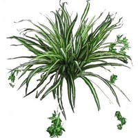 "24"" Spider Plant - Green"