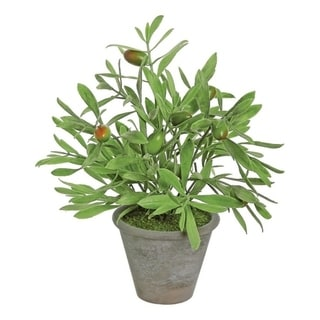 Potted Olive Plant - Green