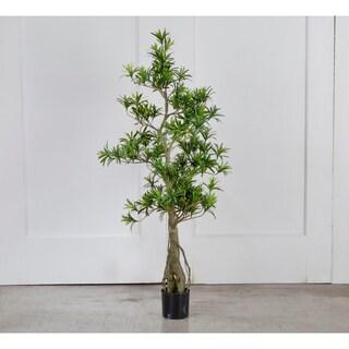 Potted Podocarpus Tree