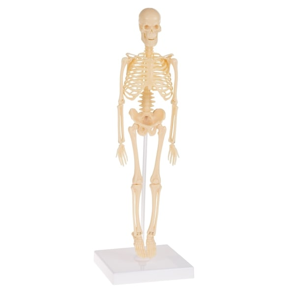 Shop Human Skeleton Model Kit on Base- 13 25 Inches Kids