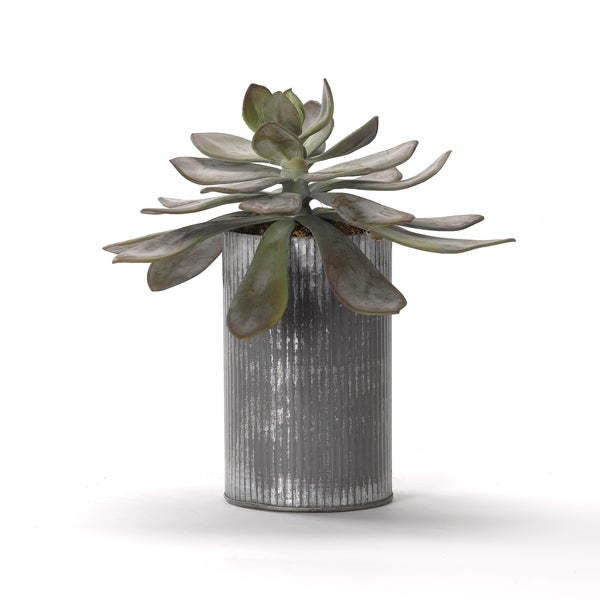 Large Frosted Echeveria in Tin Planter