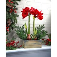 "20"" Double Amarylis W/Mini Fir Arrangment"