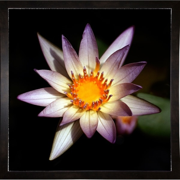 "Lily Purple Edge-HARFLO50333 Print 11.5""x11.5"" by Harold Silverman - Flowers"