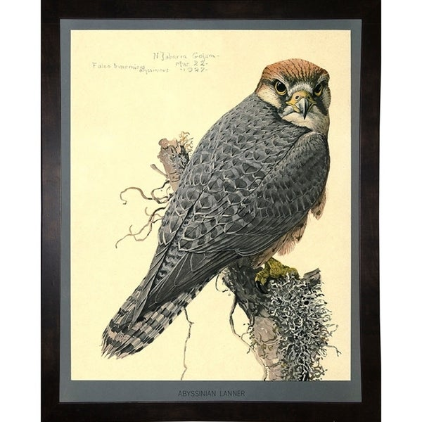 """Abyssinian Lanner-PRIPUB130804 Print 11""""x8.75"""" by Print Collection"""