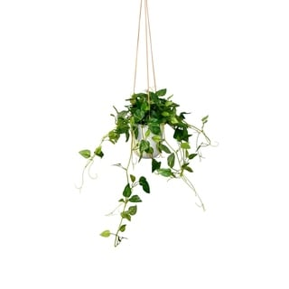 Modern hanging philodendron