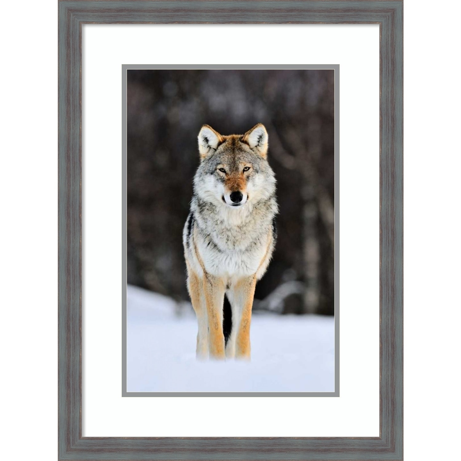 Shop Framed Art Print Gray Wolf Standing In The Snow Norway By