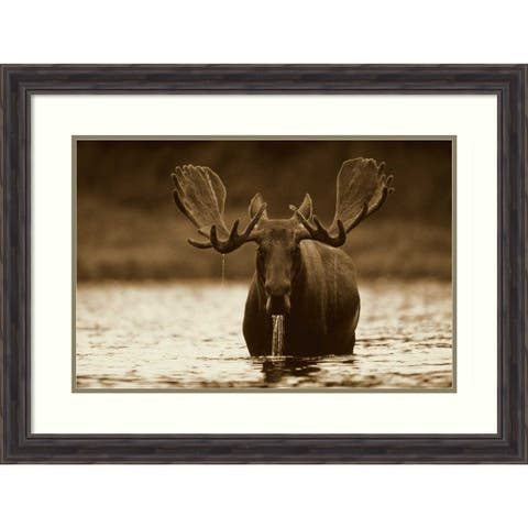 Framed Art Print 'Moose male raising its head, North America' by Tim Fitzharris: Outer Size 33 x 25-inch