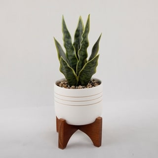 Snake plant/Sansevieria in Mid-Century Modern Painted Pot with Wooden Stand