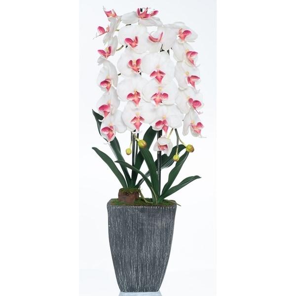 Red Vanilla White / Cream Phalaenopsis Orchid
