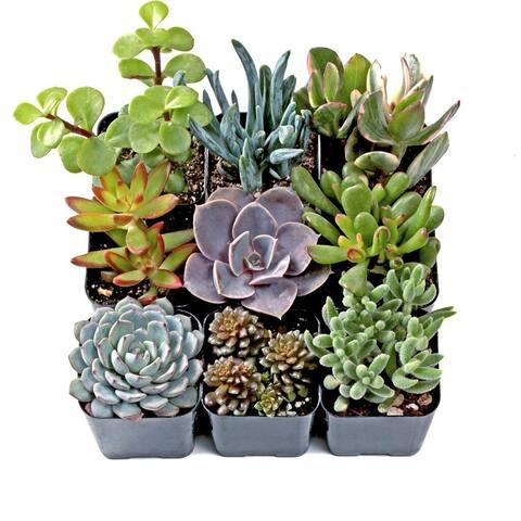 MCG Rock Garden Soft Succulent Set of 9