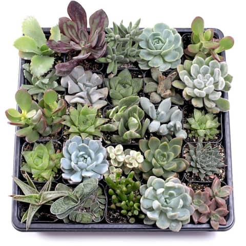 MCG Indoor Succulent Tray - 2in Containers - 25 Varieties (25)