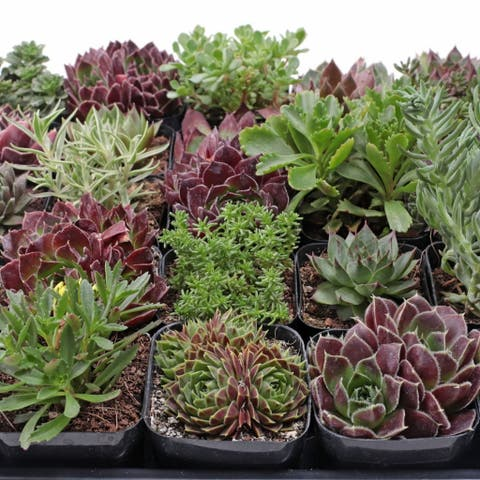 MCG Hardy Succulent Tray - 2in Containers - 25 Varieties (25)