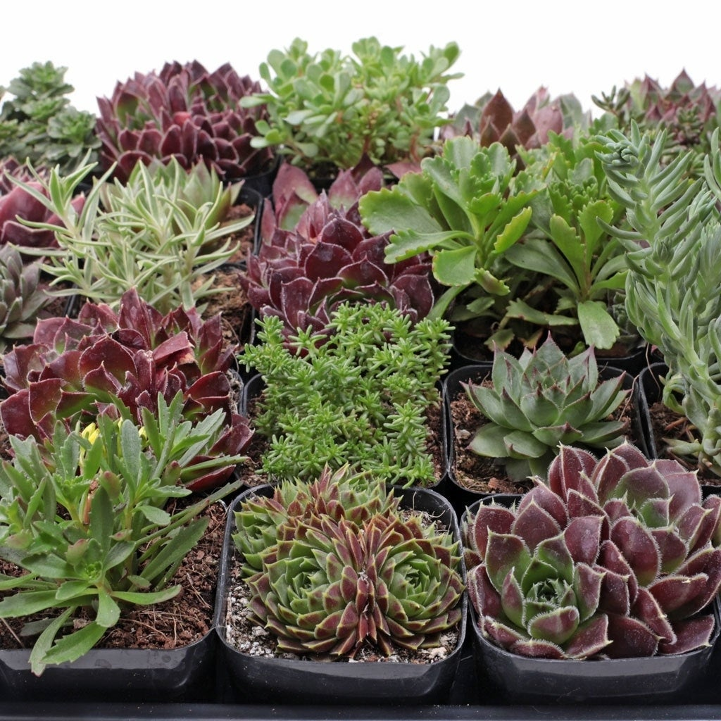 Shop Mcg Hardy Succulent Tray 2in Containers 25 Varieties 25