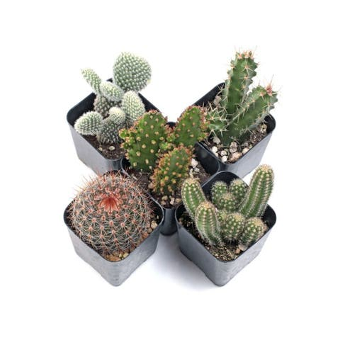 MCG Cacti Set of 5