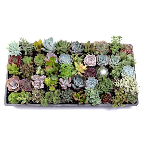 MCG Ultimate Succulent Sampler Tray - 2in Containers - 50 Varieties (50)