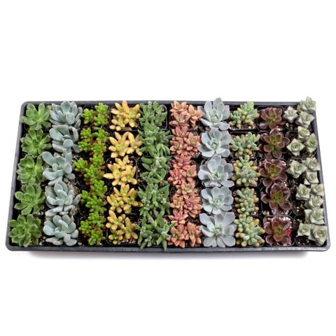 MCG Soft Succulent Tray - 2in Containers - 10 Varieties (50)