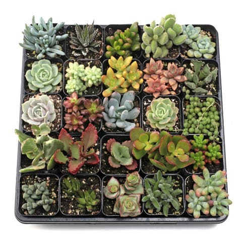 MCG Soft Succulent Tray - 2in Containers - 25 Varieties (25)