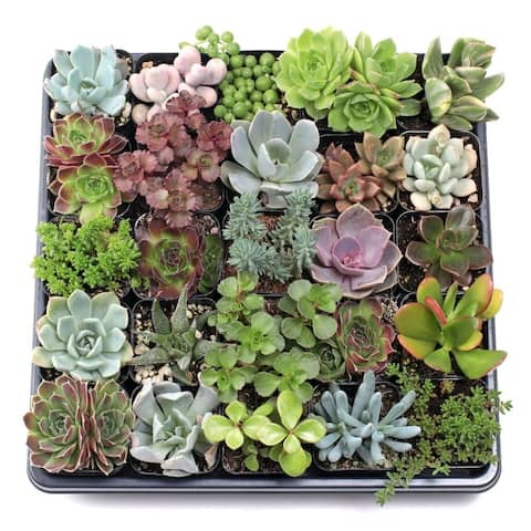 MCG Super Succulent Sampler Tray - 2in Containers - 25 Varieties (25)