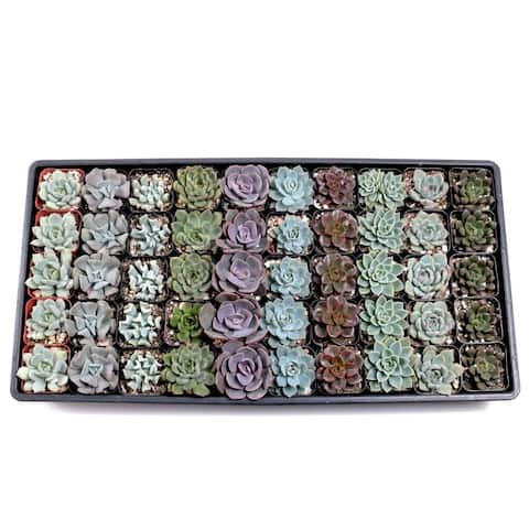 MCG Echeveria Tray - 2in Containers - 10 Varieties (50)