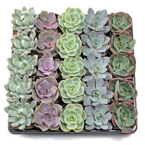 MCG Echeveria Tray - 2in Containers - 5 Varieties (25)