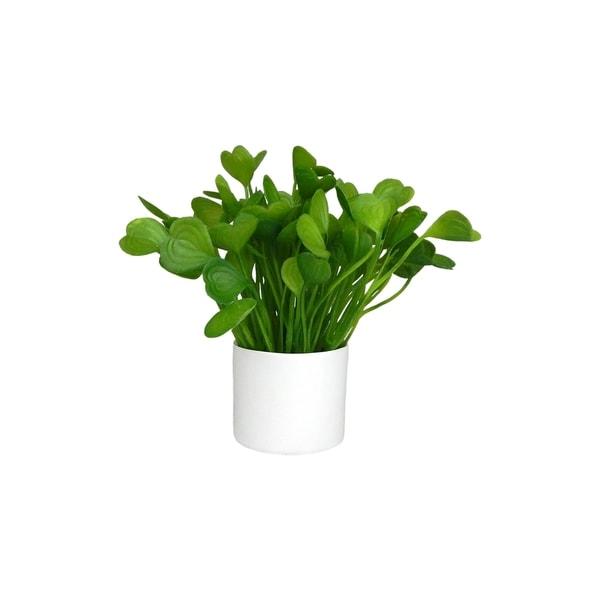 Sweetheart hoya succulent plant