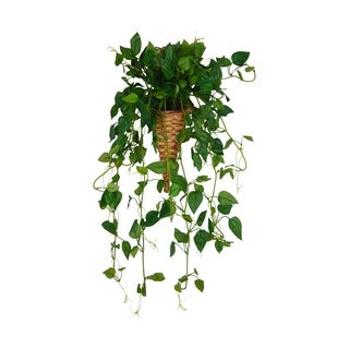 Hanging green pothos in wall hanger