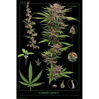 Cannabis Anatomy Poster Print