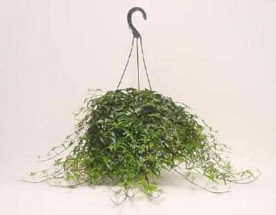Ivy Hanging Basket in Plastic Pot