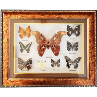 """Link to Luxury Framed Butterfly Collection Display Taxidermy Featuring Real Atticus Atlas - 9 Large Insects Total 20"""" x 16"""" x 1 1/4"""" Similar Items in Accent Pieces"""