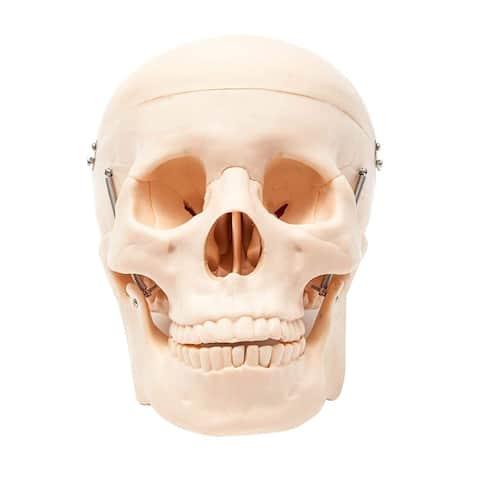 Life Size Human Anatomical Skull Skeleton Model with Removable Cap for Anatomy - Orange