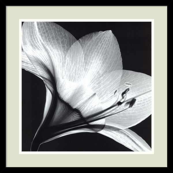 Framed Art Print 'Amaryllis 1' by Steven N. Meyers 21 x 21-inch